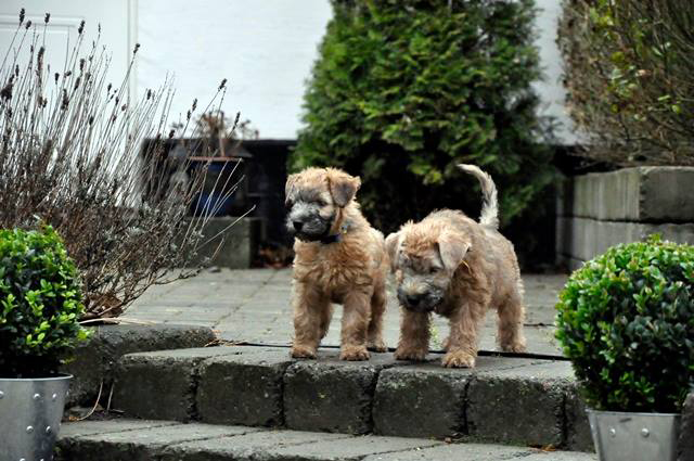 Soft caoted wheater terrier valp